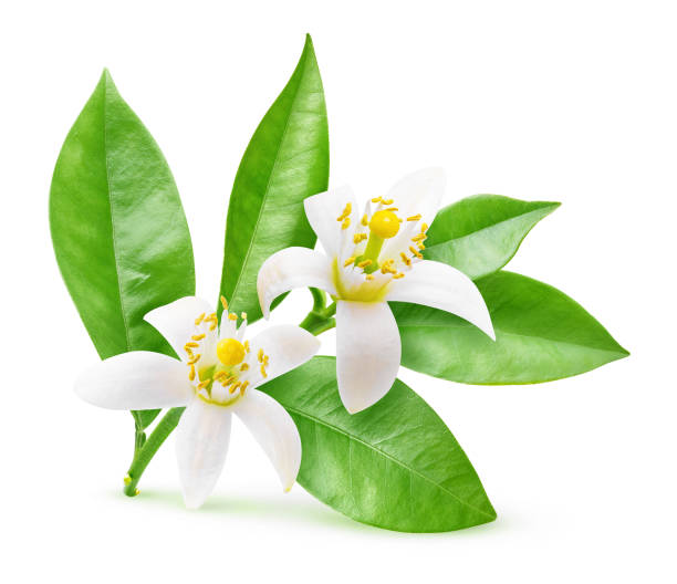 Isolated blossoming branch of orange tree stock photo