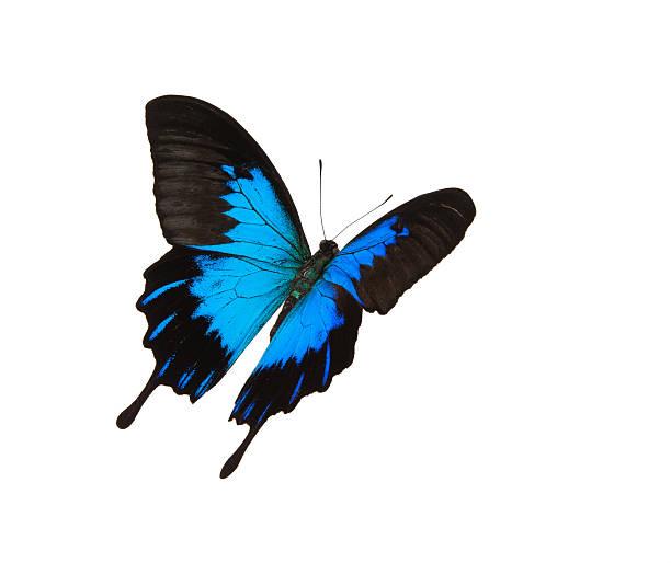 Isolated blue mountain swallowtail flying picture id175491975?b=1&k=6&m=175491975&s=612x612&w=0&h=lmtemdjwohy9bcfziwx45114zyyr5sdycc7glcenauw=