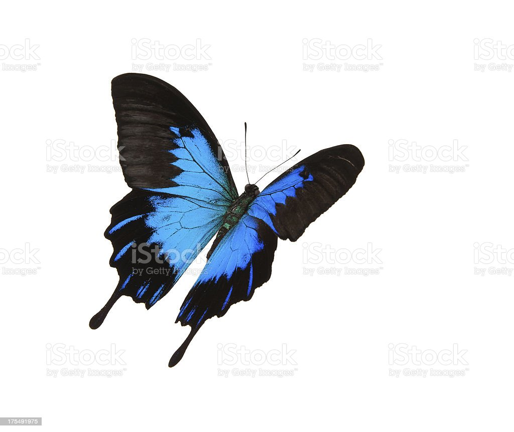 Isolated blue mountain swallowtail flying stock photo