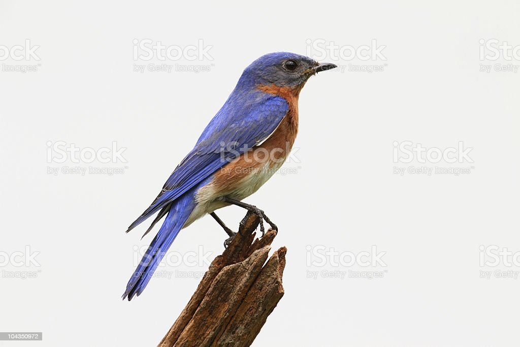 Isolated Bluebird On A Stump stock photo