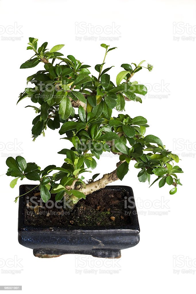 Isolated bonsai tree royalty-free stock photo