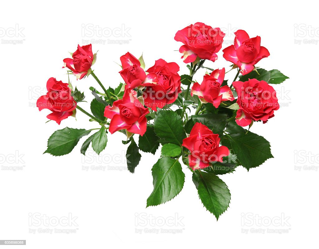 Isolated bouquet of roses with leaves royalty-free stock photo