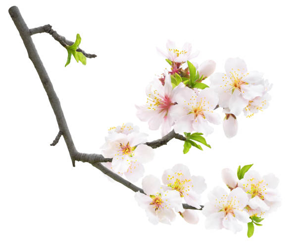 Isolated branch of almond tree with blossoms stock photo