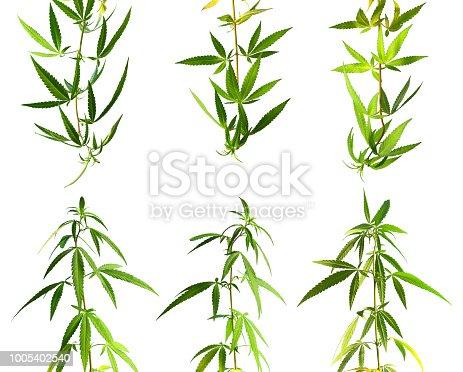 isolated branch of marijuana