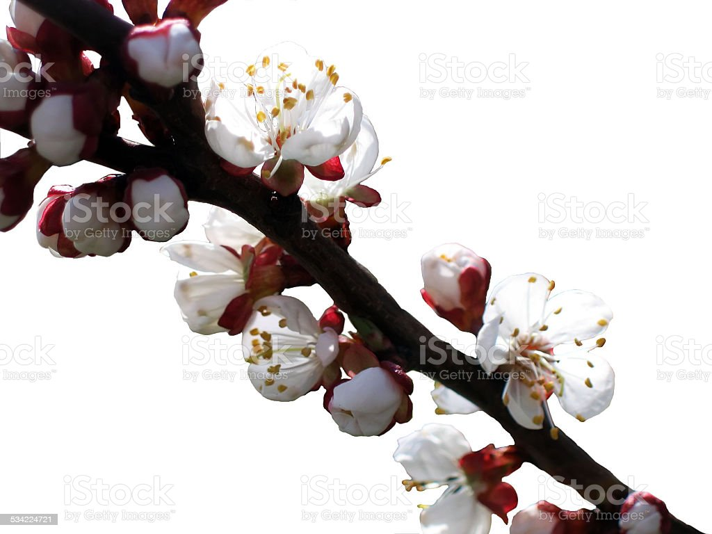 Isolated branch with white apricot blossom stock photo