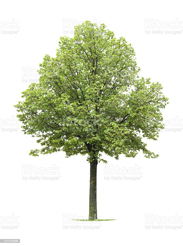 Isolated bright green Linden tree on white background royalty-free stock photo