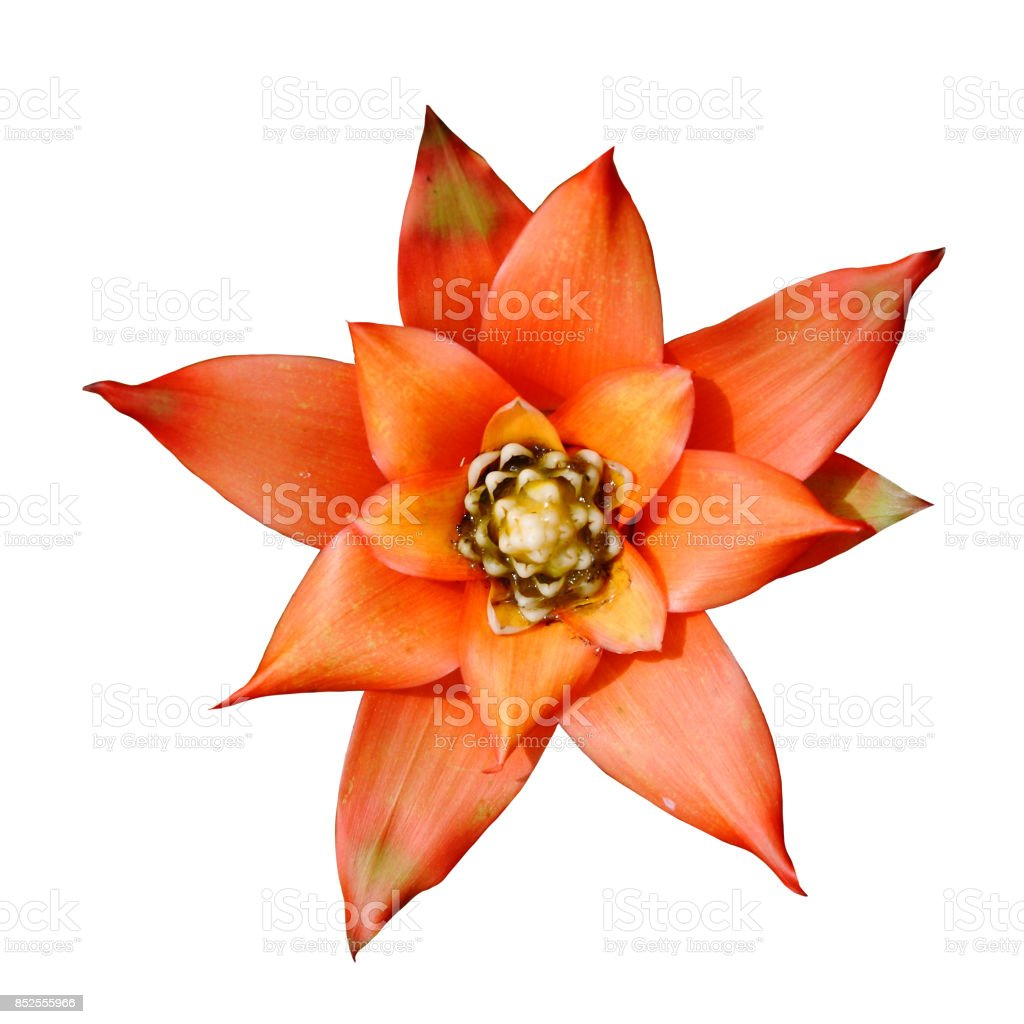 isolated Bromeliad, Ananas Comosus, Pineapple red orange flower side view. Graphic resource on white background – zdjęcie