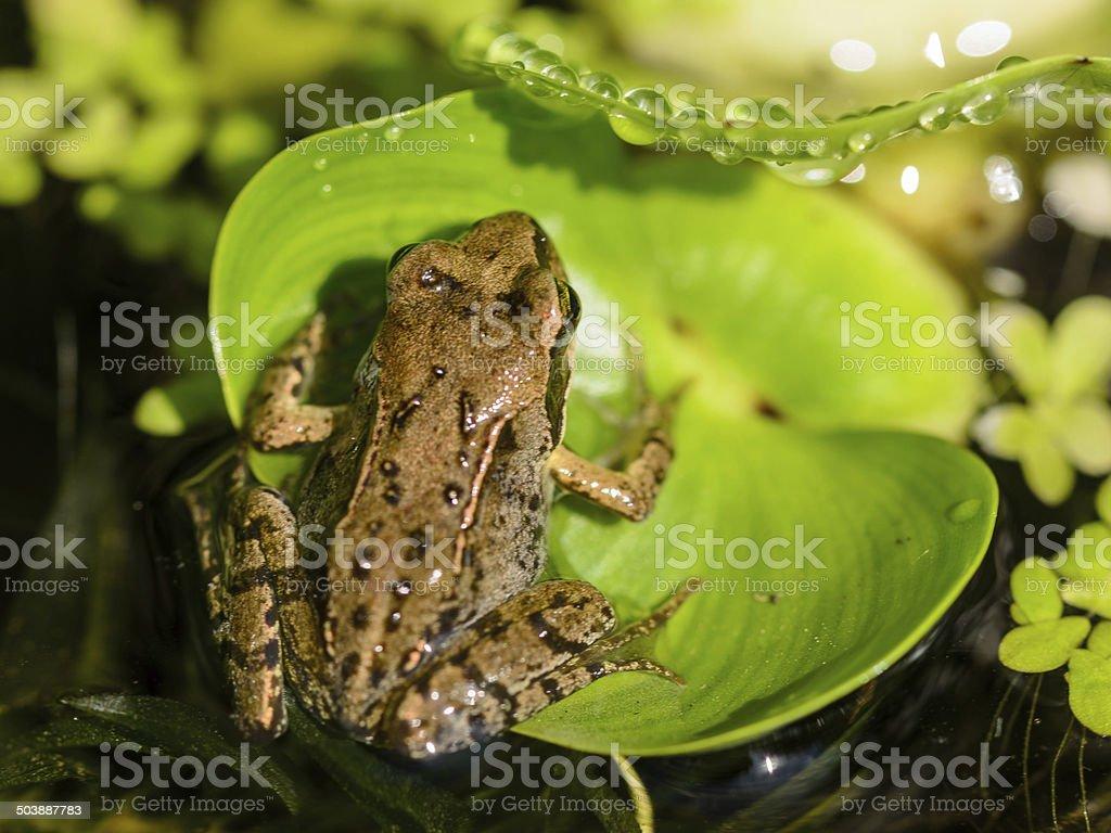 brown-Frosch auf Blatt Isoliert – Foto