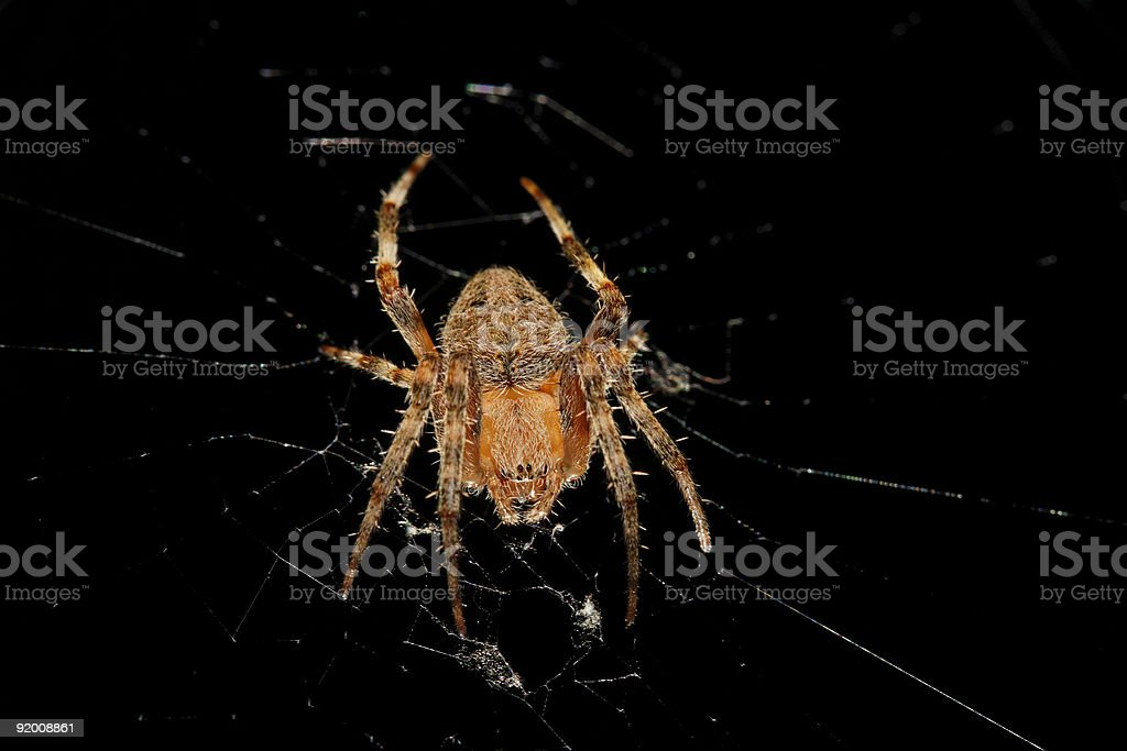 Isolated Brown Orb-Weaver Spider on Web, in a Defensive stance stock photo