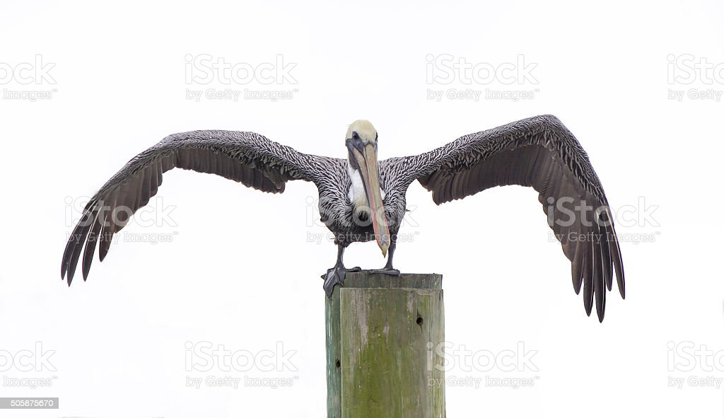 Isolated Brown Pelican stock photo