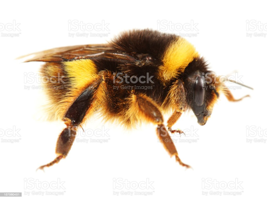 Isolated Bumblebee (XXL) stock photo