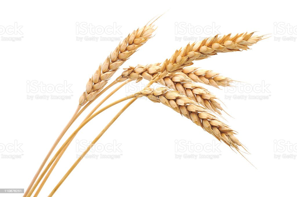 Isolated bunch of wheat royalty-free stock photo