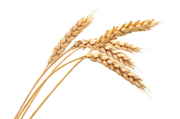 Isolated bunch of wheat  wheat stock pictures, royalty-free photos & images