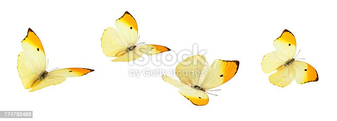 Yellow butterflies (Anteos Menippe) in various flying positions. Isolated on white.