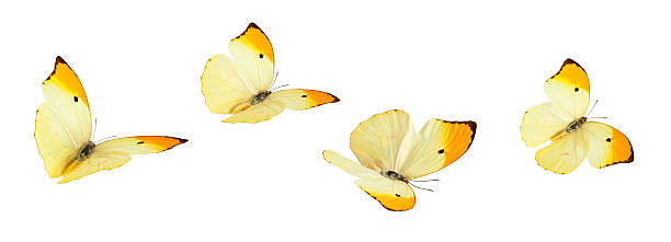 Isolated butterflies picture id174793469?b=1&k=6&m=174793469&s=612x612&w=0&h=zyi0iz7svic2v0ee7umusalyvryw dqopblaxkw roy=