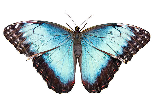 Isolated butterfly with clipping path on white background picture id104203034?b=1&k=6&m=104203034&s=612x612&w=0&h=usnekkea3ekc1qv1jxt 3r rv3gss4slaztd9rgpv u=