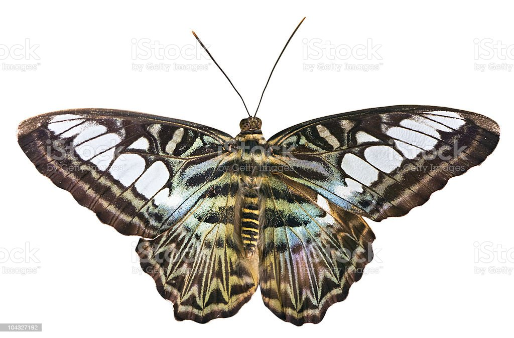 Isolated butterfly with clipping path on white background royalty-free stock photo