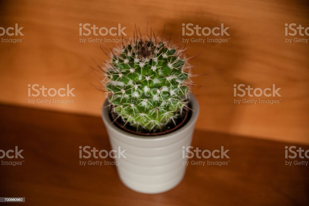 Isolated cactus on wooden background. Cactus background and texture. Cactus on vintage  background. Abstract background and texture for designers. stock photo