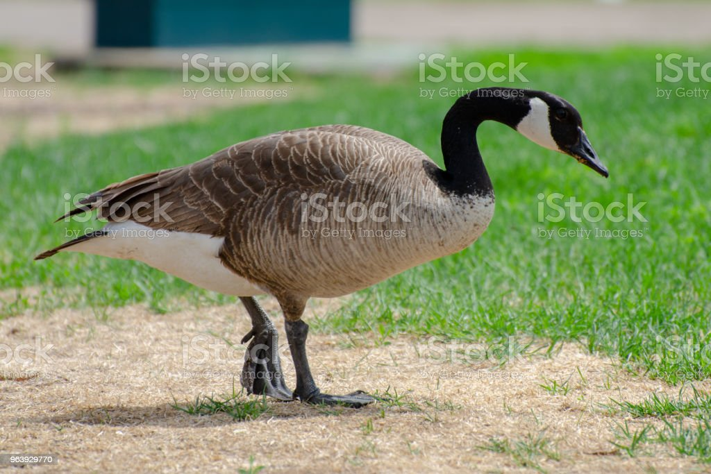 Isolated Canada Goose - Royalty-free Animal Stock Photo