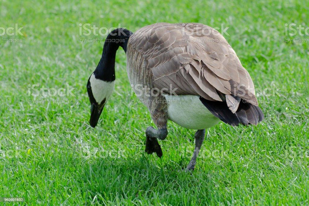 Canada Goose の絶縁 - まぶしいのロイヤリティフリーストックフォト