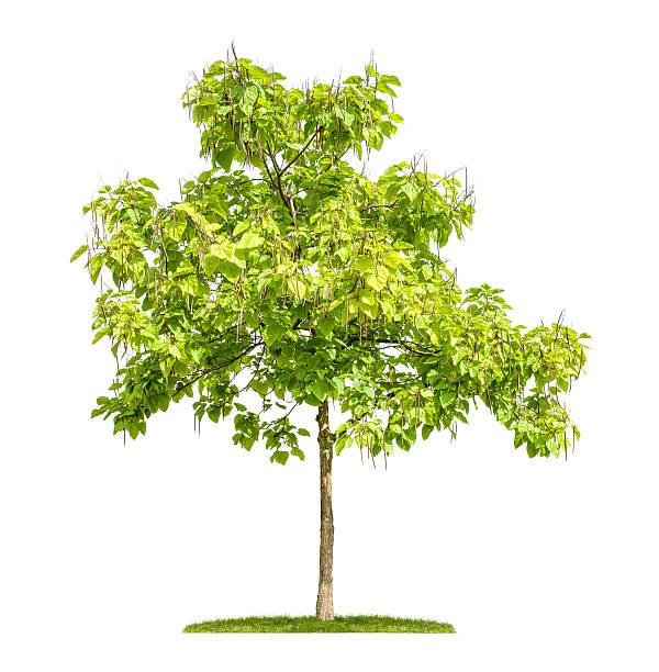 catalpa baum mit früchten isoliert auf weißem hintergrund - trompetenbaum stock-fotos und bilder