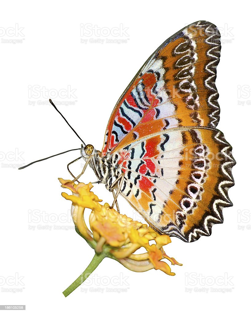 isolated cethosia butterfly on flower stock photo