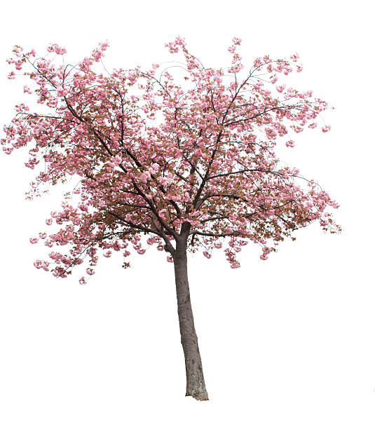isolated cherry blossom tree - blossom stock pictures, royalty-free photos & images