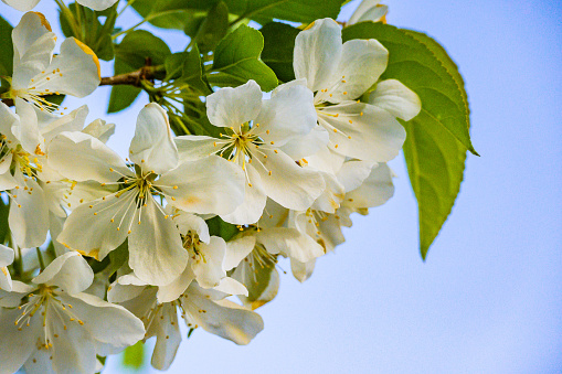 Delicate blossoms at tip of branch. Blue sky signals pleasant weather in springtime. Copy space on right bottom.