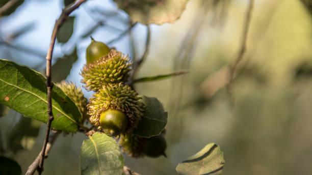 秋天,橡樹上的橡子的孤立特寫宏 - 耶路撒冷以色列圖像檔