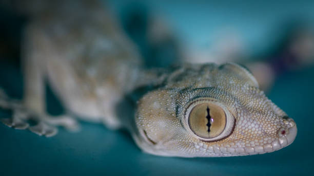 孤立的特寫一個國內美麗的壁虎蜥蜴- 以色列圖像檔