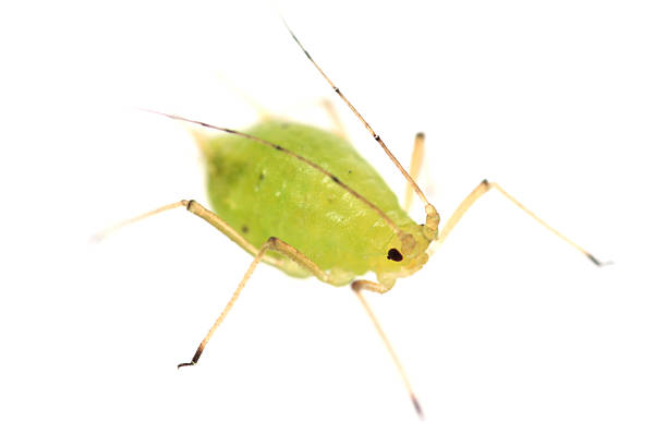 Isolated close up of a green aphid Green aphid isolated on white (around 3mm in length) aphid stock pictures, royalty-free photos & images
