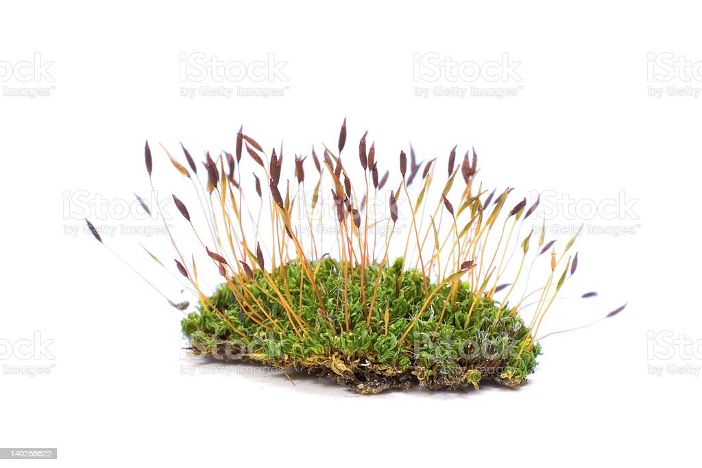 Isolated close up of moss royalty-free stock photo