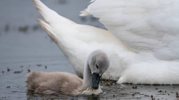 在羅馬尼亞的野生-多瑙河三角洲被隔絕的靜音天鵝青年人的接近圖像檔