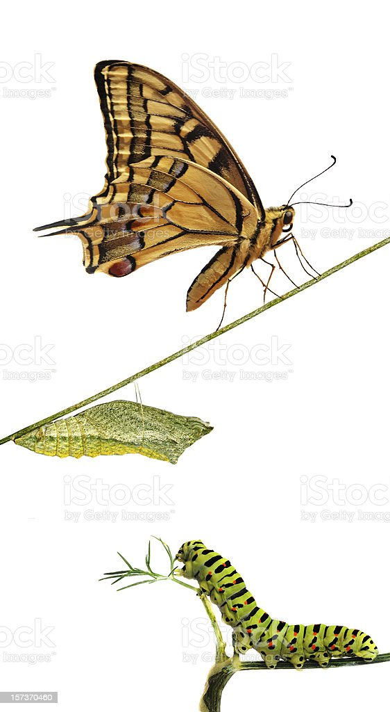 Isolated close up of phases of a butterfly royalty-free stock photo