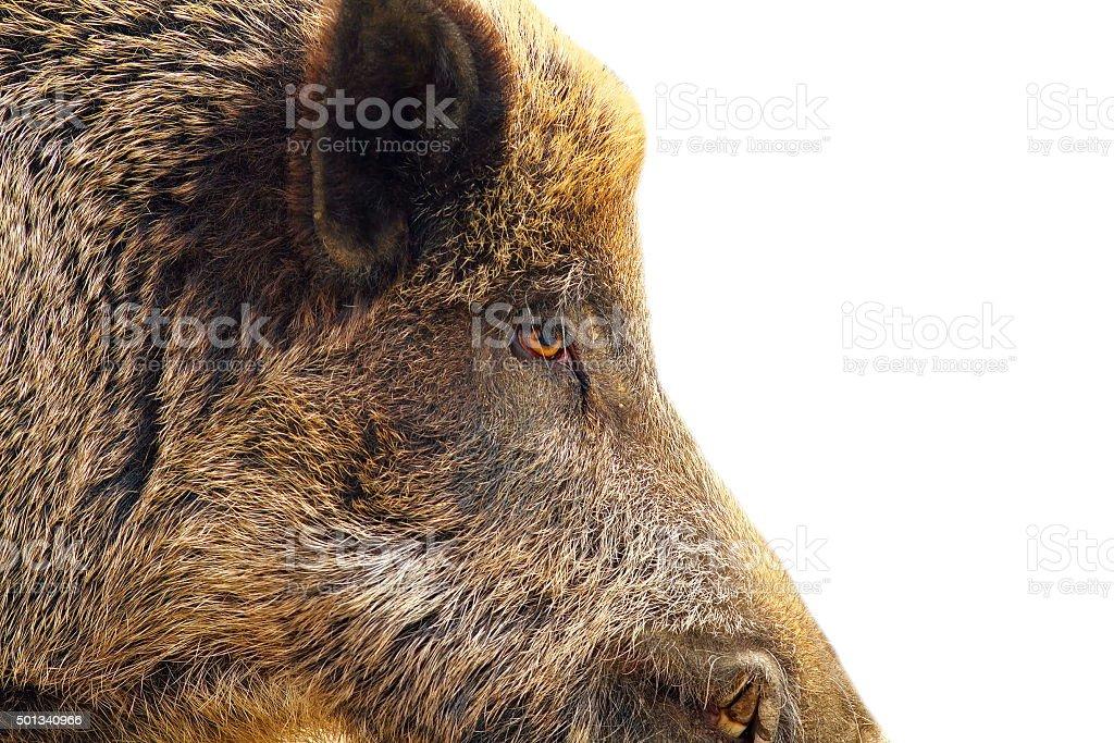 Isoliert Nahaufnahme eines wilden hog – Foto