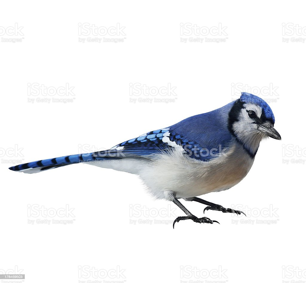 Isolated close-up photo of a blue jay Cyanocitta cristata stock photo