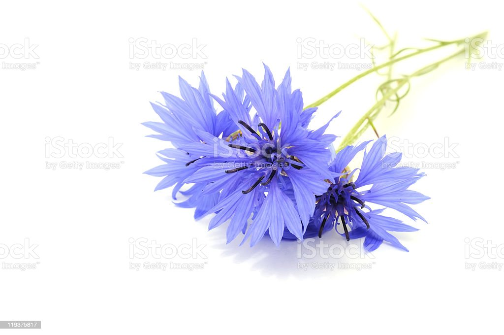 Isolated close-up photo of bright blue cornflowers stock photo