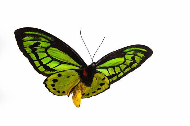 Isolated closeup photograph of a green butterfly in flight picture id175482971?b=1&k=6&m=175482971&s=612x612&w=0&h=n8e7pbh6vs0vyt8np79giysfdd60zpn8m2rj 0lku k=
