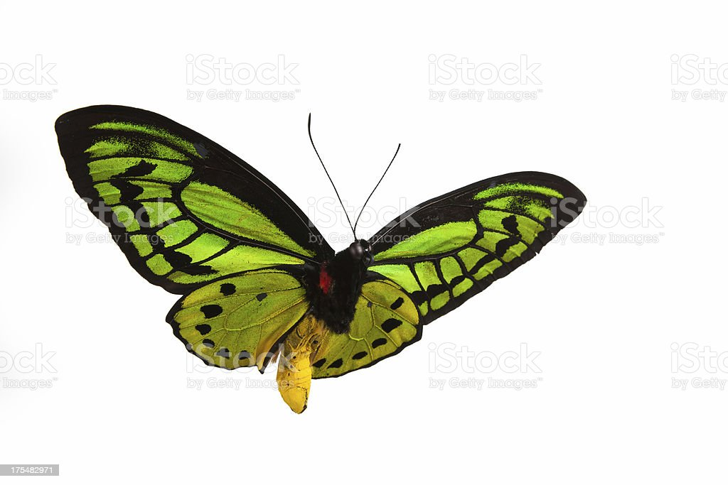 Isolated close-up photograph of a green butterfly in flight stock photo