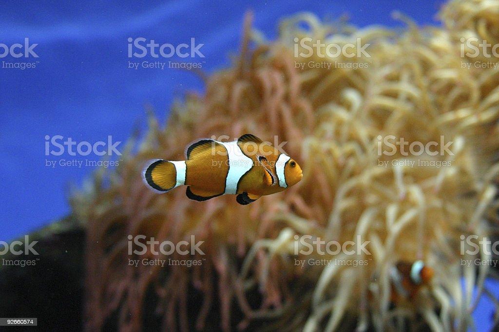 Isolated clown fish royalty-free stock photo