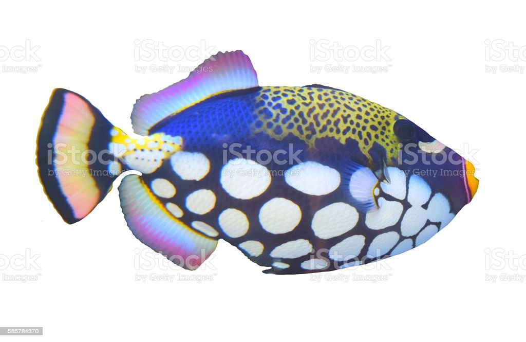 isolated clown triggerfish tropical spotted fish white background stock photo