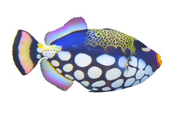 isolated clown triggerfish tropical spotted fish white background - tropikalna ryba zdjęcia i obrazy z banku zdjęć