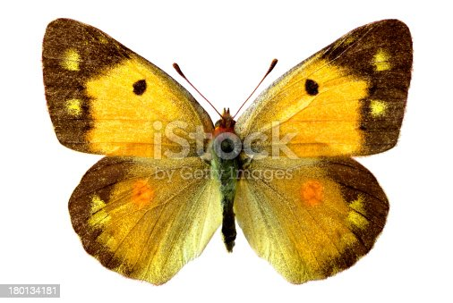 Isolated Colias butterfly (crocea) on white background