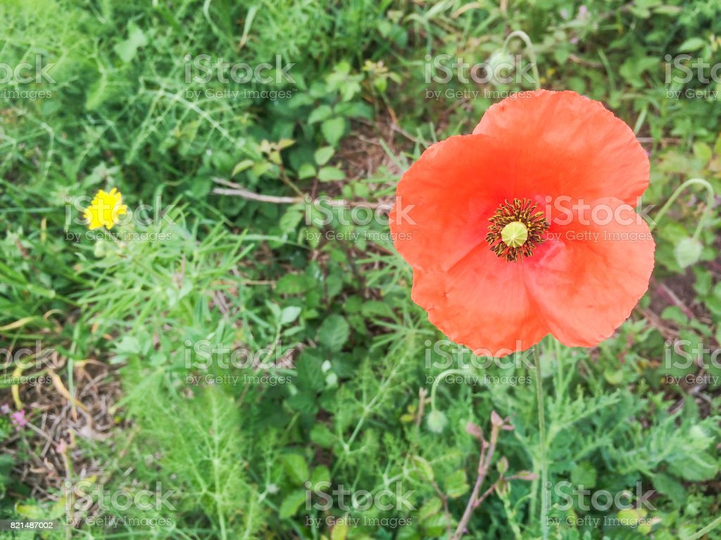 Isolated common, field or red poppy stock photo