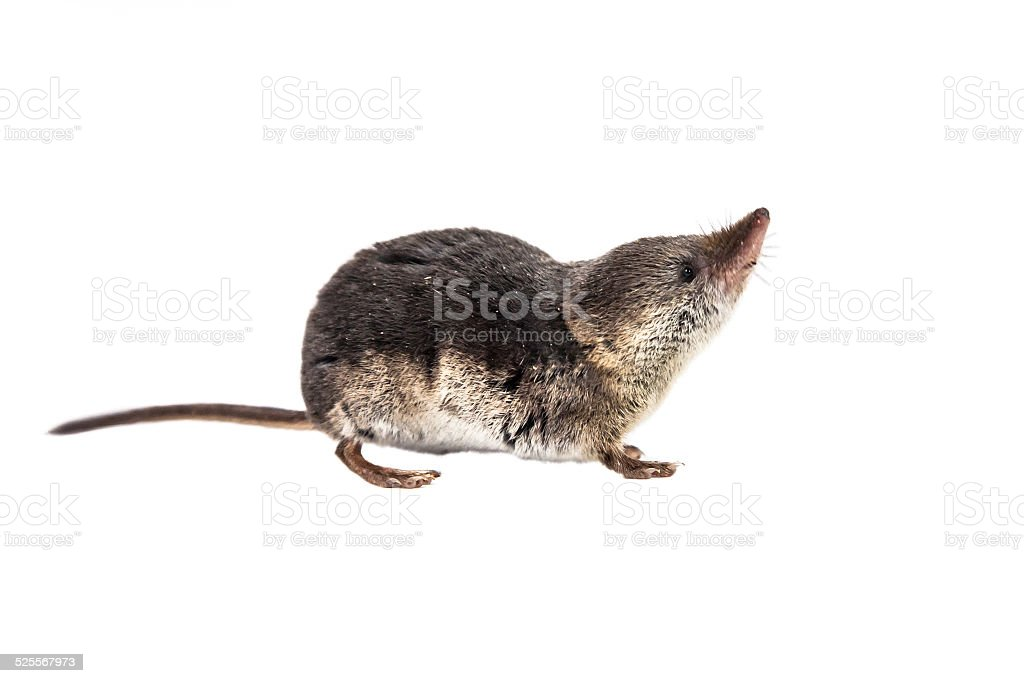 Isolated Common shrew (Sorex araneus) with clipping path stock photo