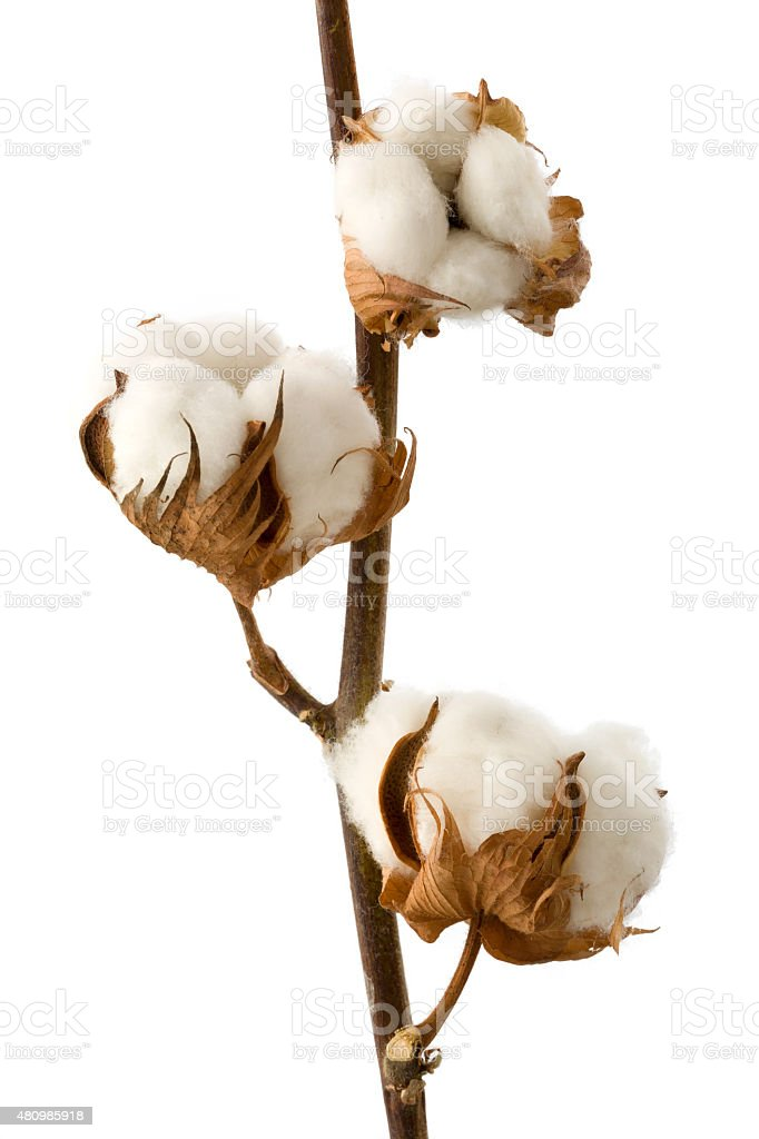 Isolated cotton branch stock photo