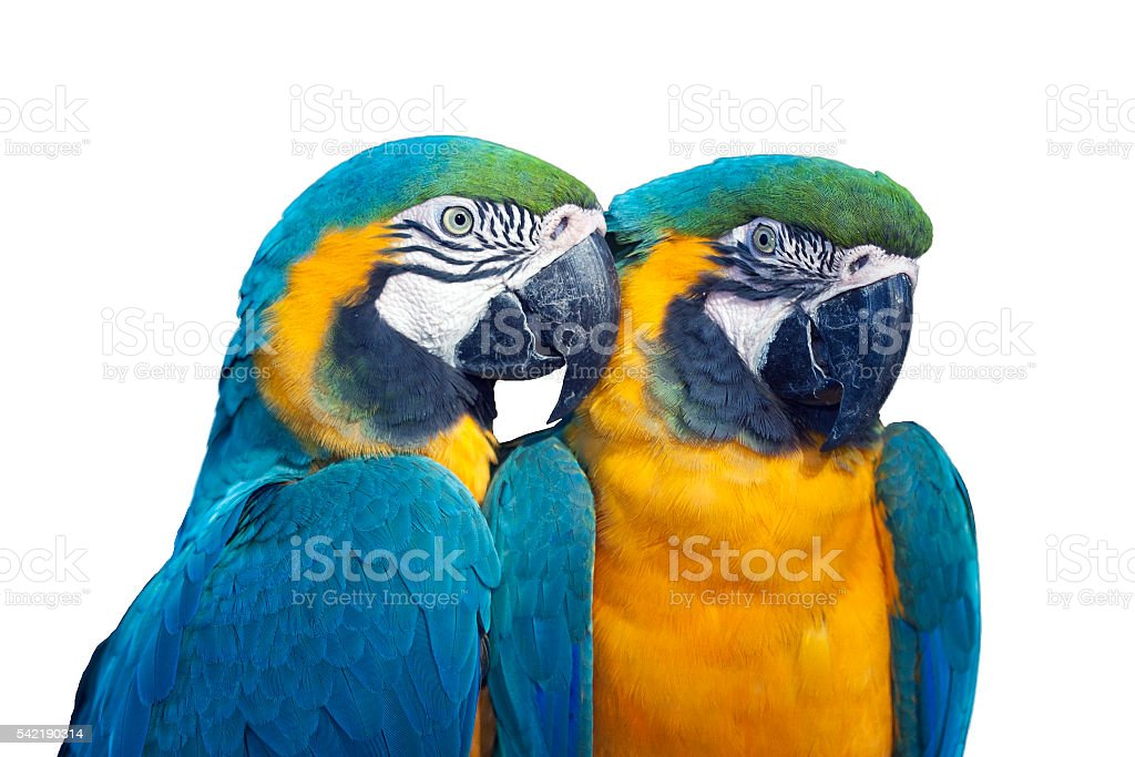 Isolated Couple of blue and yellow macaw stock photo