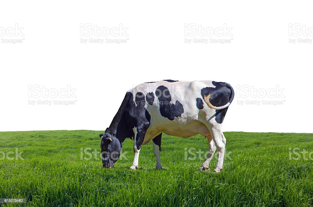 isolated cow grazing in the meadows stock photo