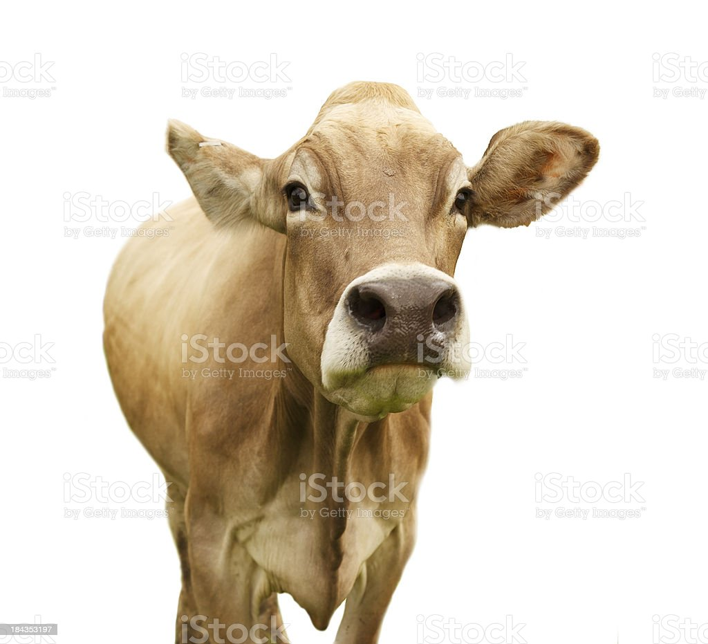 Isolated Cow royalty-free stock photo