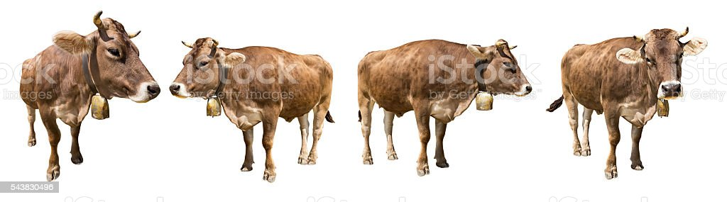 isolated cows stock photo